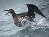 Black-footed Albatross, Monterey Pelagic, 250817 by 1760up
