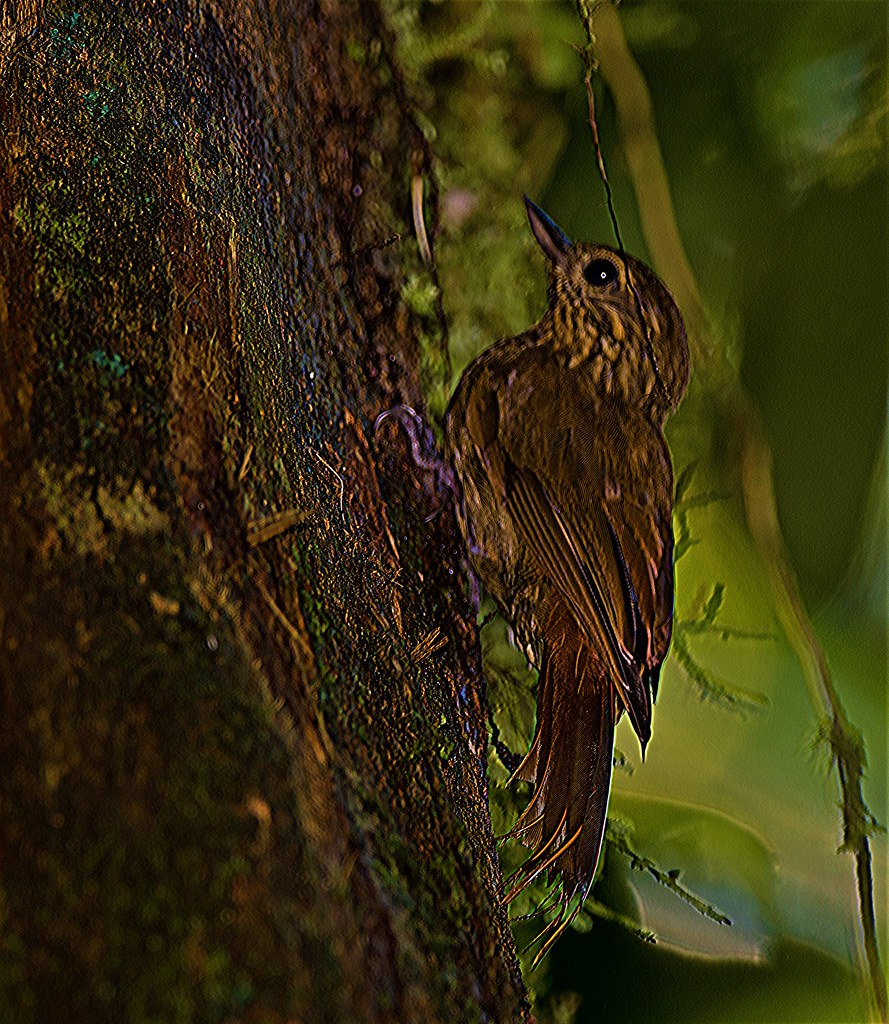 Wedge-billed Woodcreeper in camouflage mode.