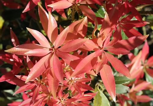 Pieris japonica - andromède du Japon 36498844382_4a2f624670