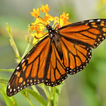 The King of Butterflies