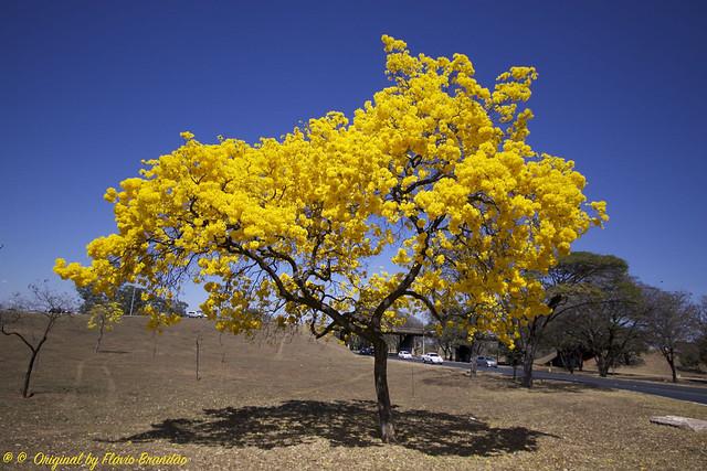 Série com o Ipê-amarelo em Brasília, Brasil - Series with the Trumpet tree, Golden Trumpet Tree, Pau D'arco or Tabebuia in Brasília, Brazil - 20-08-2017 – IMG_7546