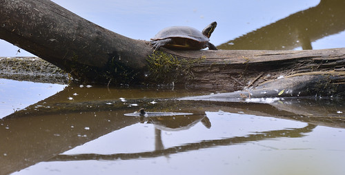 turtle petrie islnd 14062015_DSC4895 | by David Villeneuve