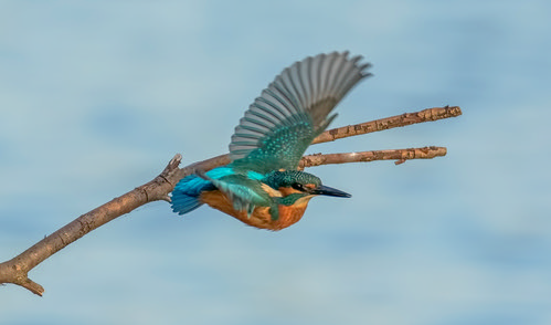 kingfishers in flight | by Evelakes67