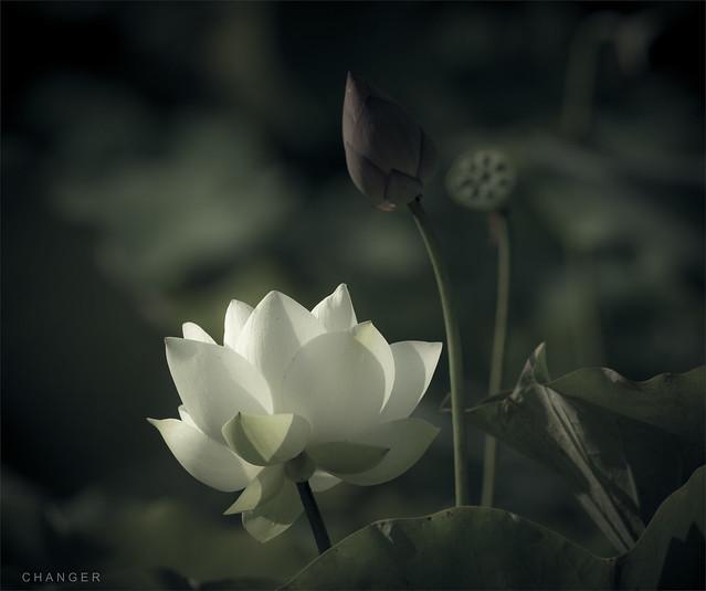 Lotus  .   荷  .  1317