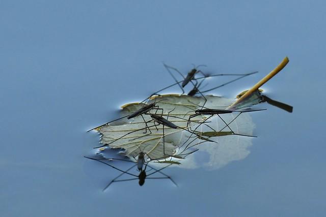Gerris lacustre - Gerris lacustris - Common pond-skater