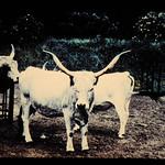 Grey Steppe = 世界の牛 グレイ・ステップ
