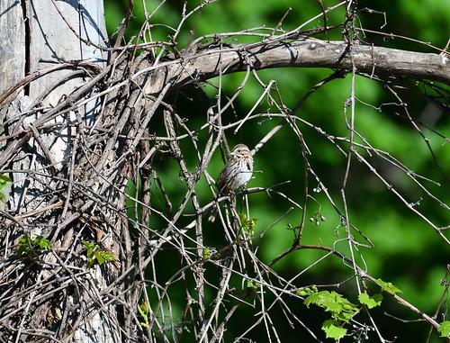 sparrow petrie island 25052016 DSC_1589 | by David Villeneuve