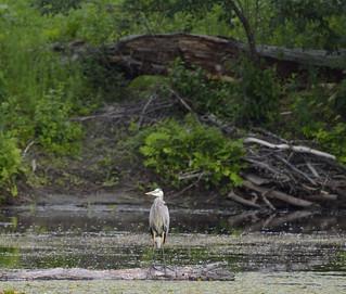 Heron Petrie Island 25062015_DSC5845   by David Villeneuve