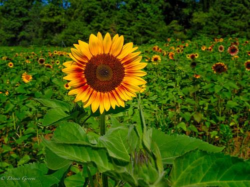 virginia burnside landscape summer sunflowers