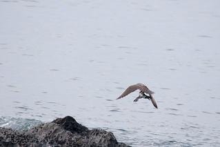 仕留めた獲物を運び去るハヤブサ ー 照ヶ崎海岸 | Ik T | Flickr
