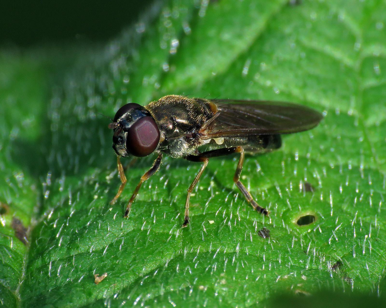 Cheilosia scutellata