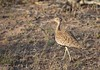 Red-crested Bustard (Lophotis ruficrista), female by piazzi1969