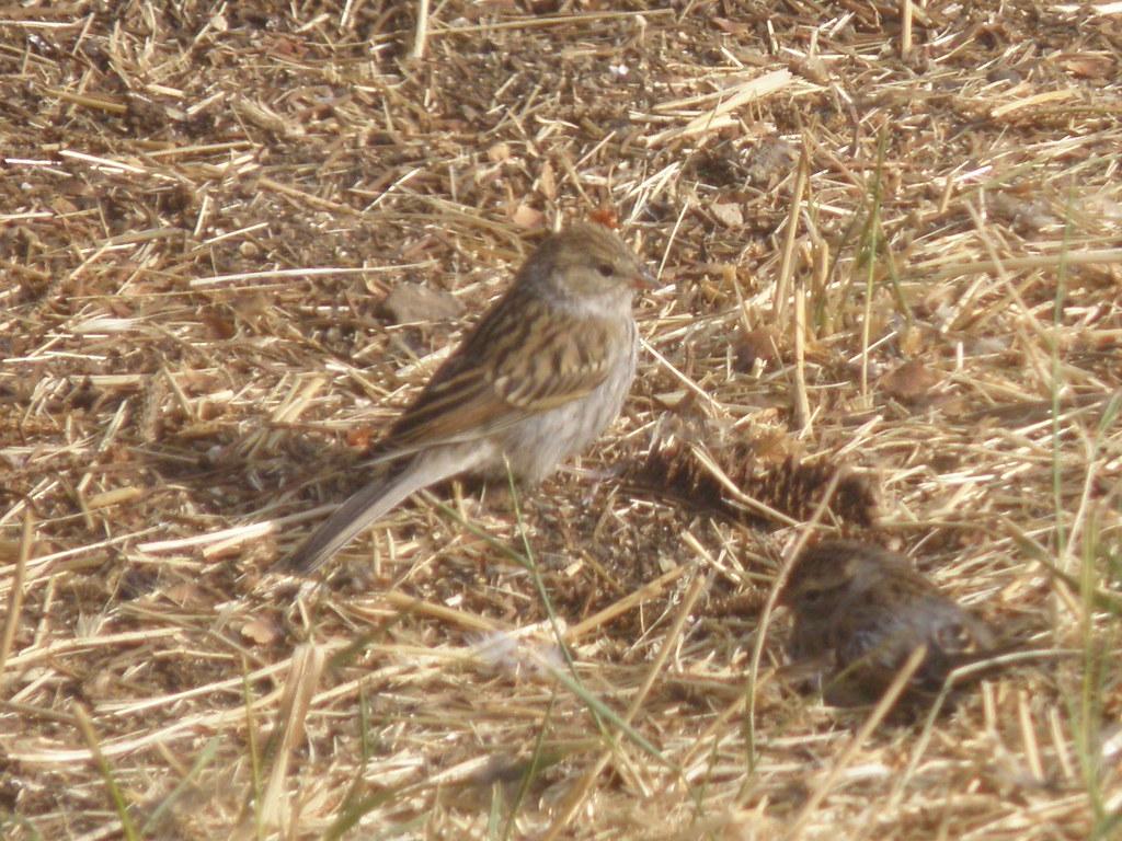P8203884...brewer's sparrow