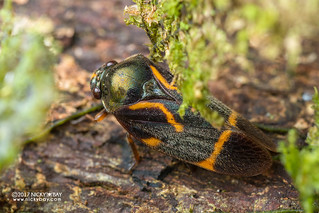 Froghopper (Trichoscarta sp.) - DSC_8960