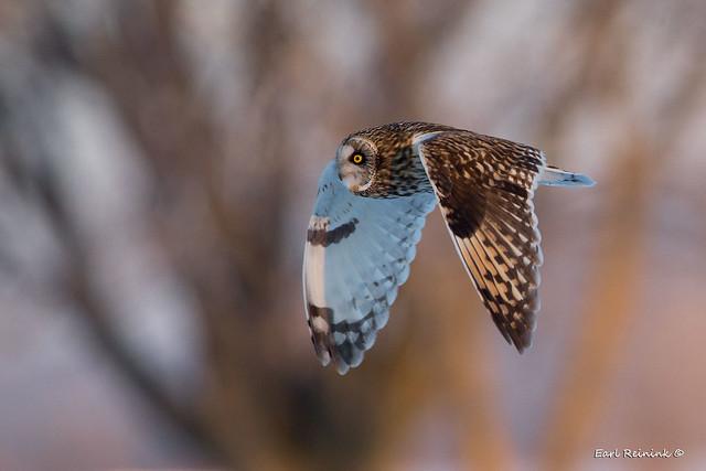 Owl - the golden hour