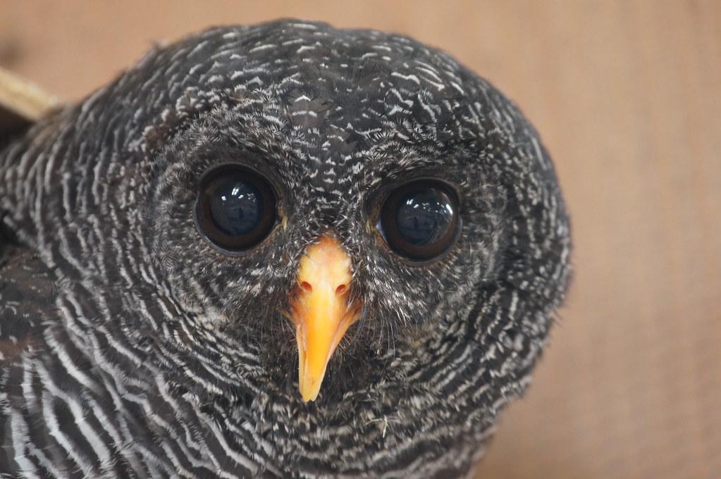 """Shadow"" - Black Banded Owl"