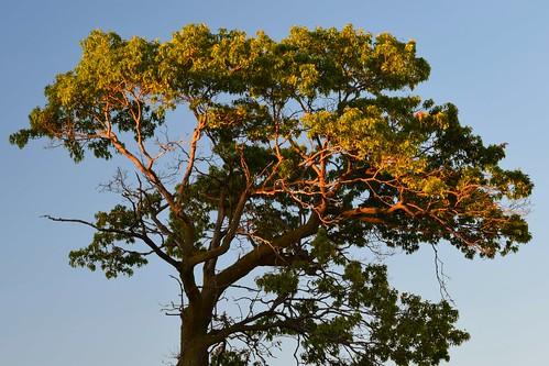 tree lightfromsettingsun halflit evening halflight sunset outdoor alone