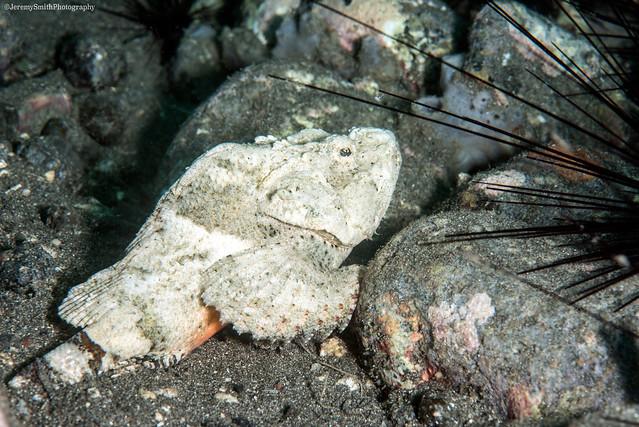Devil Scorpionfish, Scorpaenopsis diabolus, Alor, Indonesia