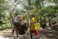 Transporting oil palm