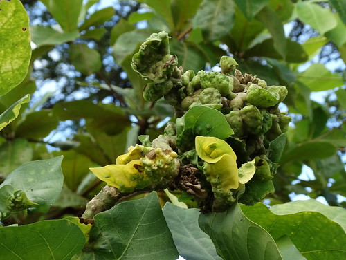 Erythrina sandwicensis (wiliwili): Erythrina gall wasp (Quadrastichus erythrinae Kim) | by Plant pests and diseases