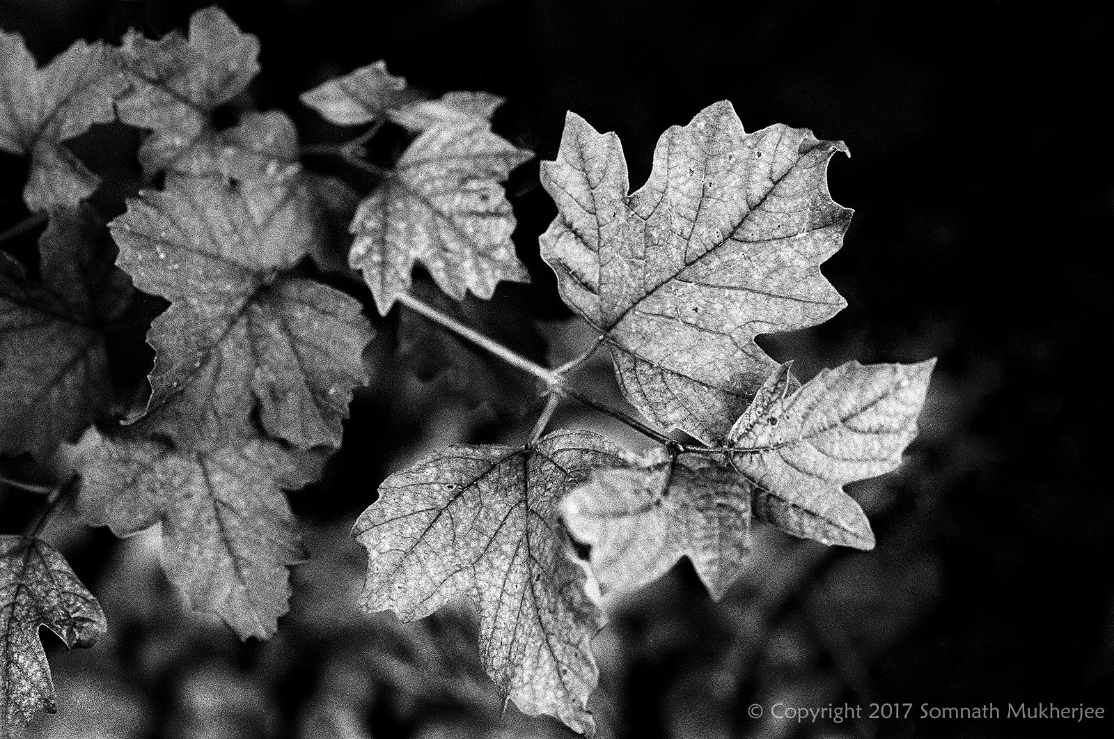 Leaves | Englewood, CO | August, 2017 by Somnath Mukherjee Photoghaphy