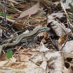 Do, 27.07.17 - 15:11 - Lizard