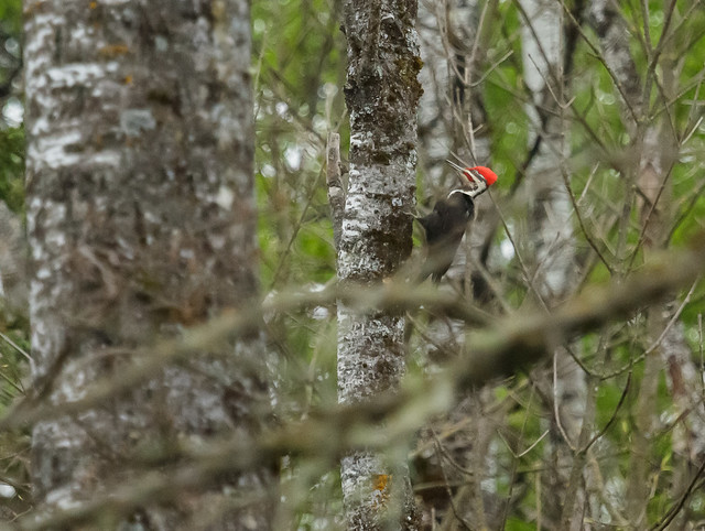 Pileated Woodpecker_0398_05-16-17_MN_resized
