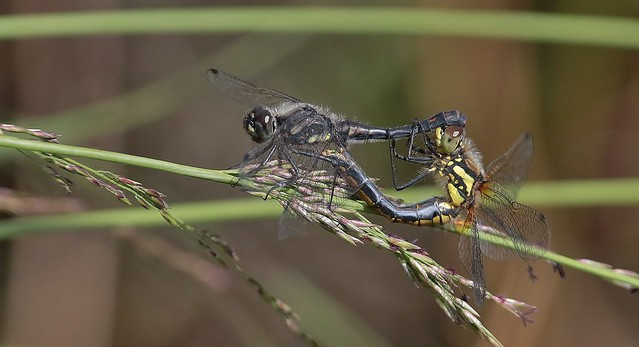 A Pair of Black Darter Dragonflies       (Explored)  06-08-2017