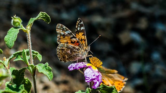 Vanessa cardui - Painted lady - Diken Kelebeği