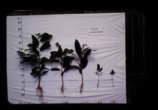 フタバガキ科樹種の更新