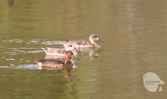 Marbled Duck & Ferrugineus Duck