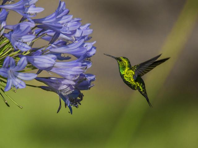 Western emerald hummingbird approaching Agapanthus