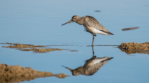Fuselo | Limosa lapponica | Bar Tailed Godwit