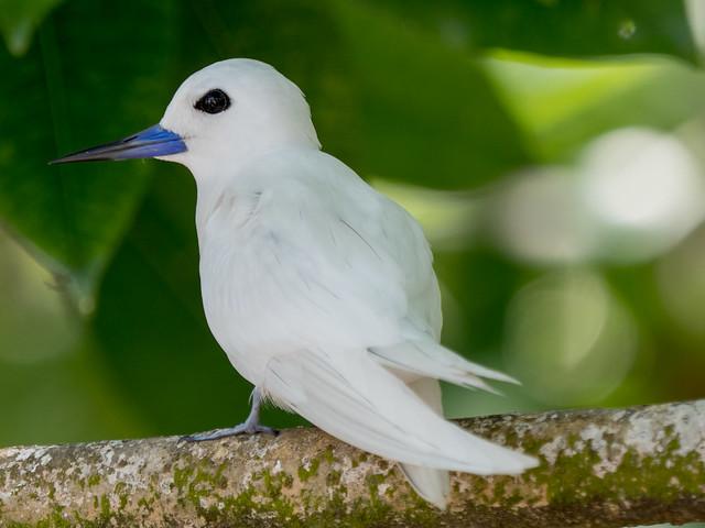 Fairy Tern / Feenseeschwalbe (Gygis alba)