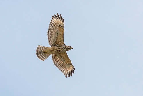 Red-shouldered Hawk (underside view) | by Phil Gower Bird Photography