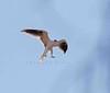 White-tailed Kite (Elanus leucurus) by Ronald Kieve