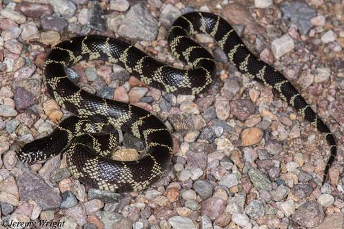 Desert Kingsnake | by Jeremy Wright Photography