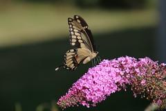 Giant Swallowtail Butterfly (Saline, Michigan) - August 20, 2017