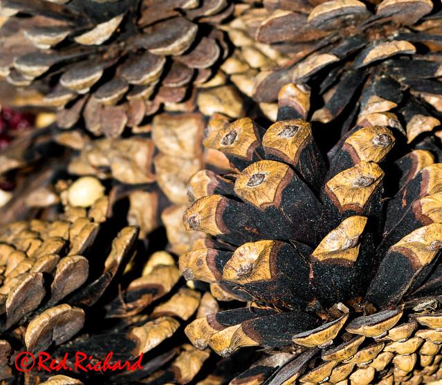 Pine Cone macro (220)
