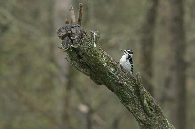 Downy Woodpecker_6633_05-17-17_MN_resized