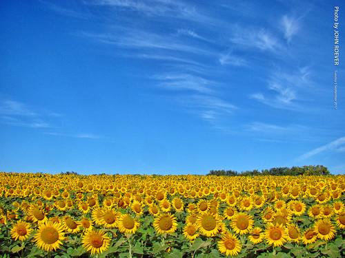 grinterfarms sunflower sunflowers sunflowerfield sunflowerfields kansas leavenworthcounty landscape flower flowers wildflower wildflowers 2017 september september2017 morning bluesky blueskies color colour colors colours nature usa ncg