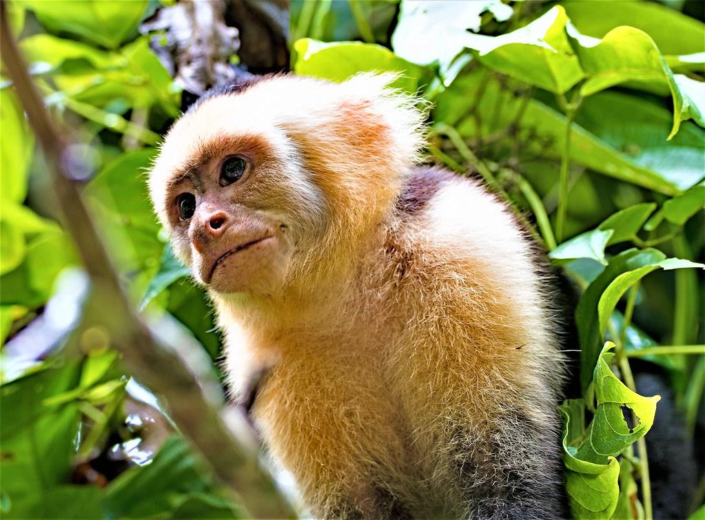 Portrait of White Cappacin Monkey