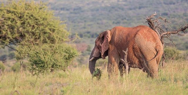 African elephant, Pilanesberg, South Africa