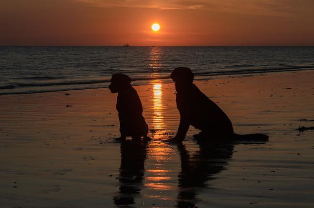 Labradors watching sunset