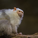 Silvery Marmoset - Photo (c) Zweer de Bruin, some rights reserved (CC BY-NC-ND)