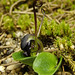 Corybas sulcatus - Photo (c) RTBG, some rights reserved (CC BY-NC-SA)