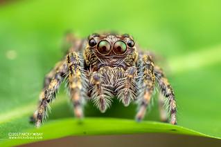 Jumping spider (Pancorius sp.) - DSC_8864