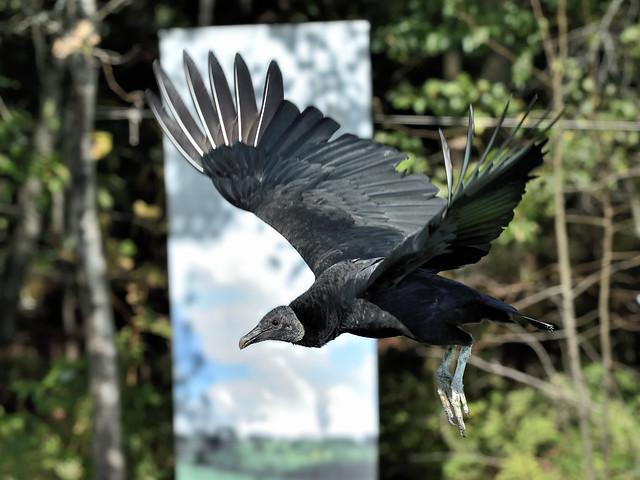 Urubu noir   ---  Black vulture ---   zopilote negro