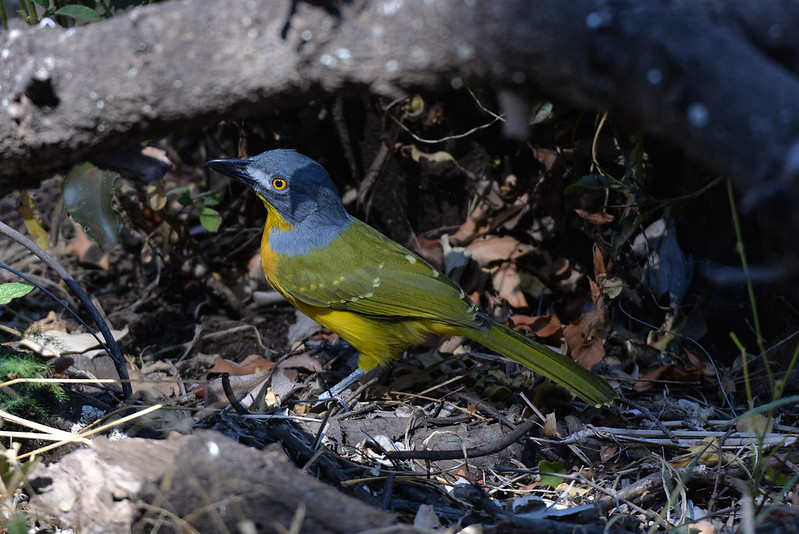 Grey Headed Bushshrike