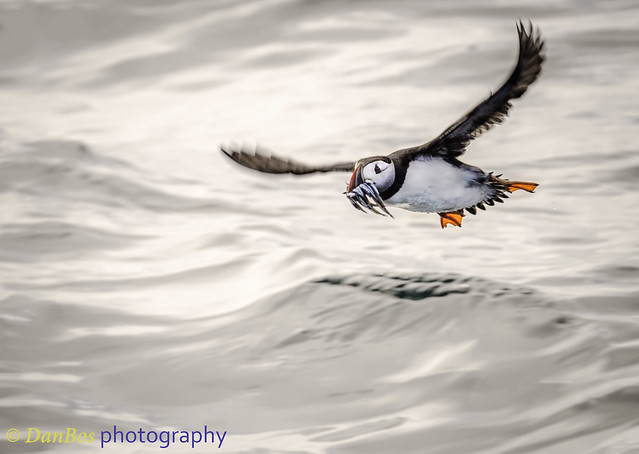 Atlantic Puffin fishing